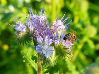 Friedhöfe – viel Platz für Bienen und Schmetterlinge