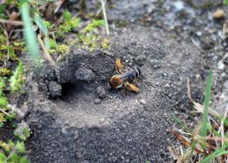 Ein Garten für Wildbiene, Hummeln und Schmetterlinge